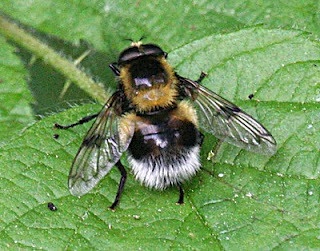 Volucella bombaylans Tophill Low NR, East Yorks