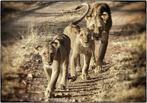 Three lions in Samburu