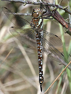 Migrant Hawker, Spurn, East Yorkshire, 2010