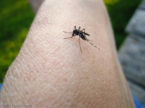 Day 235 Asian Tiger Mosquito by pixygiggles
