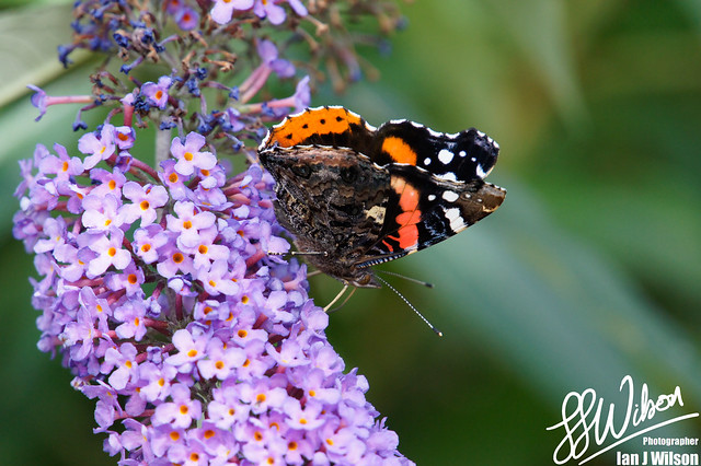 Red Admiral – Daily Photo (7th September 2012)