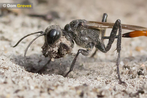 Sand digger wasp excavating nest burrow