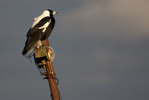 Australian Magpie 2012-08-12 (_MG_2163)