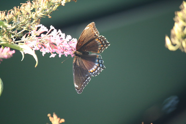 brown butterfly2