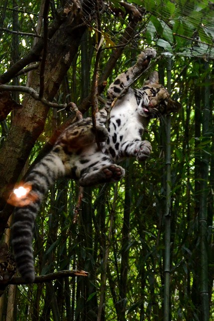 Clouded Leopard Belly