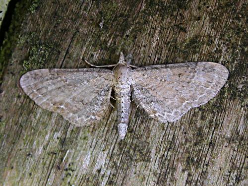 1842 Plain Pug Eupithecia simpliciata TLNR Aug 2012