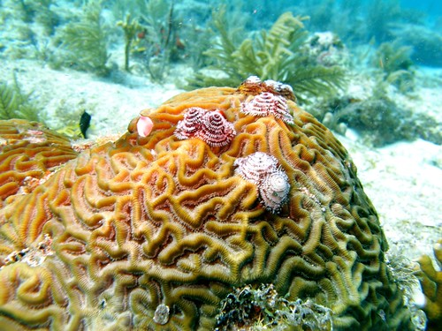 Brain coral and Christmas tree worms (Spirobranchus giganteus)