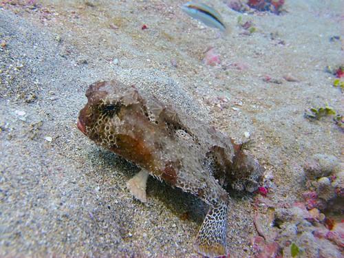Spotted batfish (Ogcocephalus pantostictus)