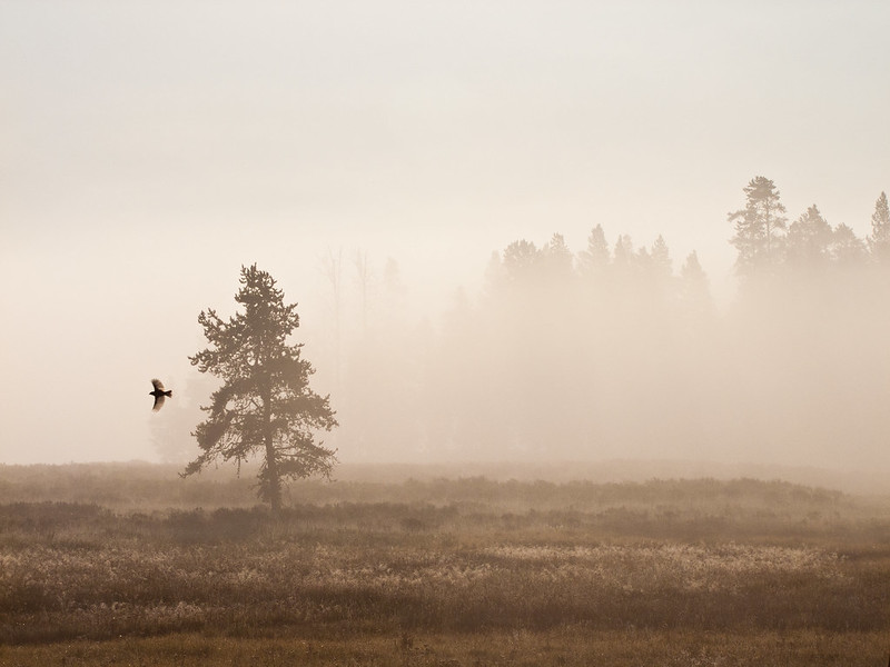 Lodgepole Pine Tree in the morning fog, near Yellowstone Lake Village