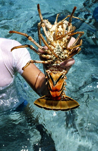 Spiny lobster, Eastern Dry Rocks reef off Key West, Florida