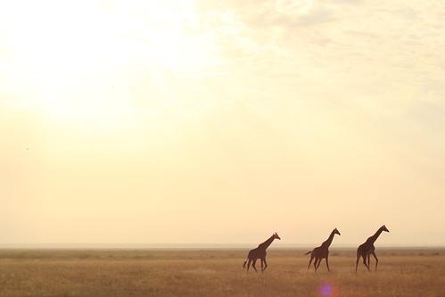 Amboseli, Kilimanjaro National Park - Kenya. Giraffes by Raffaella di Iorio Photography