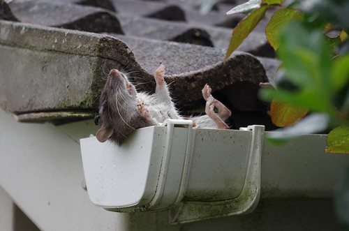 Dead Rat in Roof Guttering by This Window