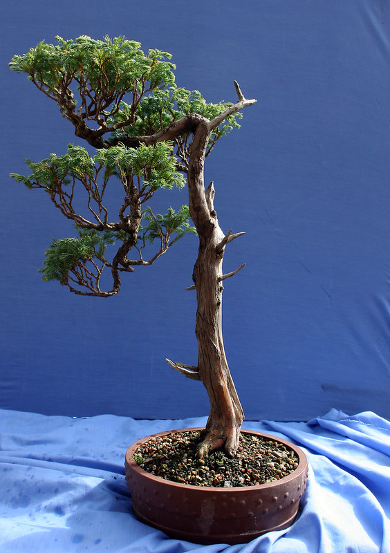False Cypress 2