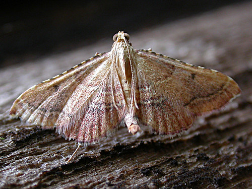 1424 Endotricha flammealis, Tophill Low NR, East Yorkshire, August 2012