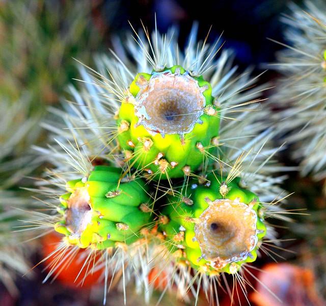 Image result for pics sonoran desert cactus flowers