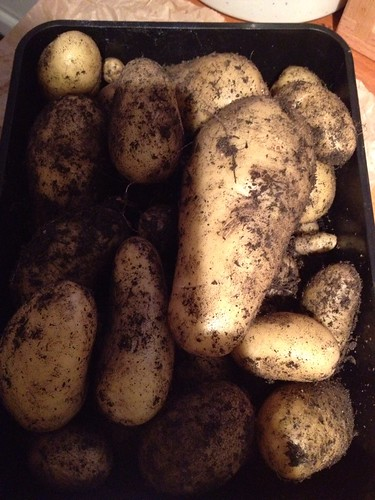 Last of the charlotte potatoes