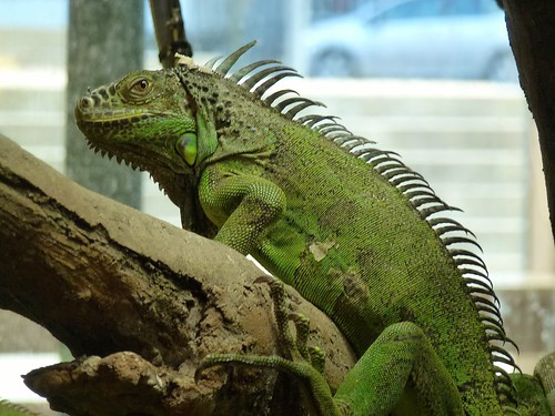 Iguana, Universeum