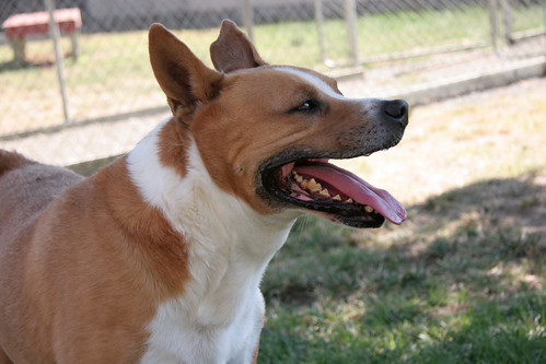 Yachtz, adoptable Basenji mix