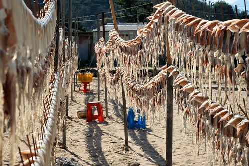 The Squid of Samcheok