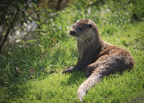 European Otter lying on a sunny, green-grassed bank. Trees and water are out of focus in the background.