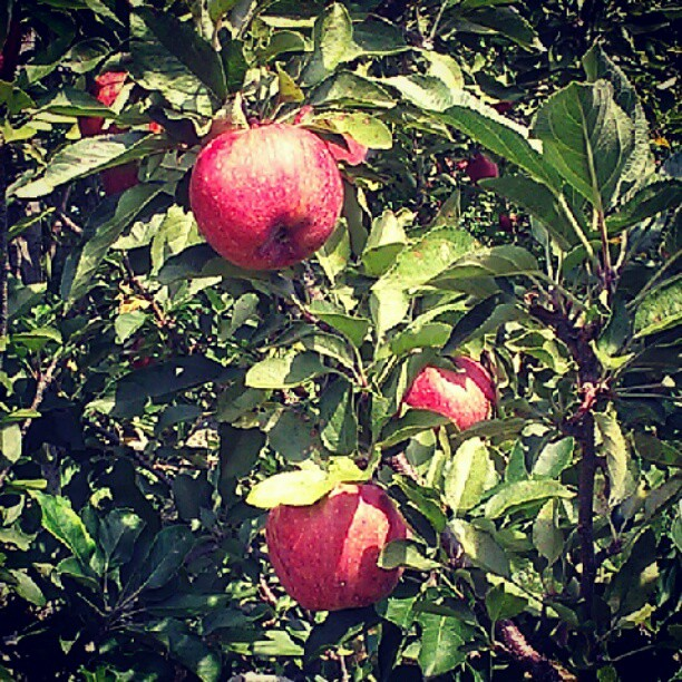Apple picking on a Saturday. And the bugs just love me.