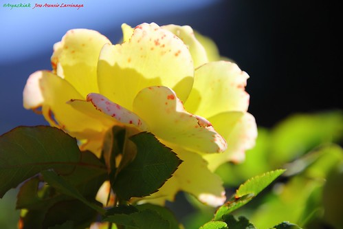 Rosa #Photography 5