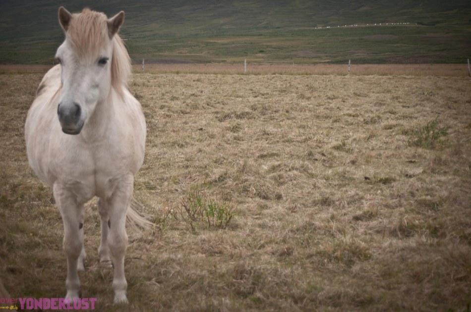 IcelandicHorses-5.jpg