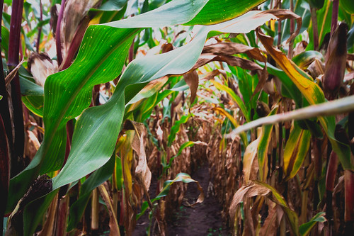 in a cornfield i walk and forget the world outside