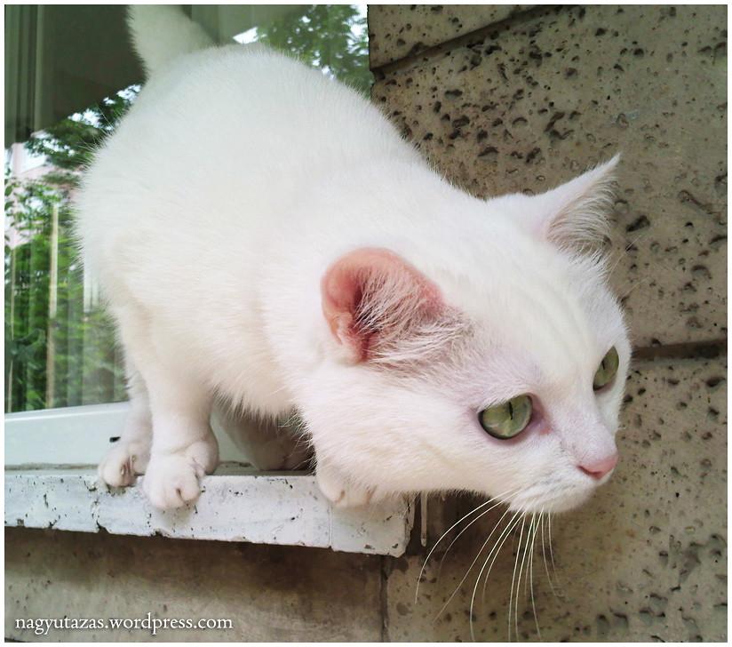 Cukorfalat, a csodaszép török angóra macska