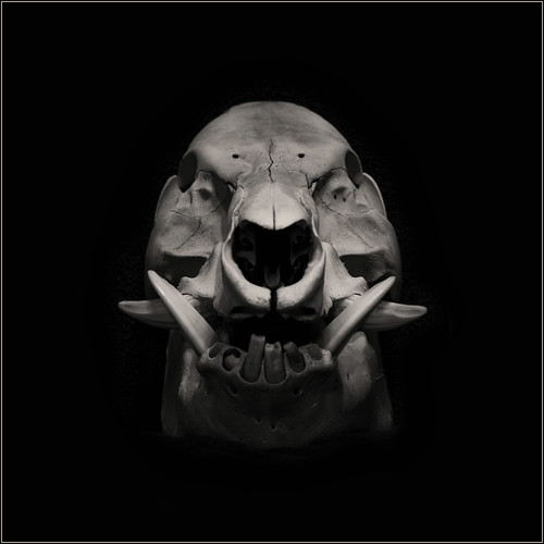 Male Wild Boar Skull by Ben Locke (Ben909)