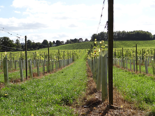 English Vineyard 01
