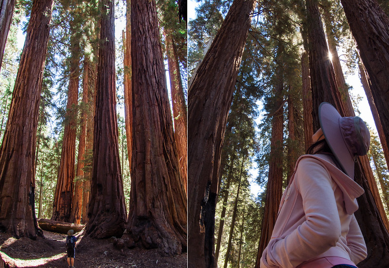 "Group of giant sequoias, named ""The House"", on Big Trees Trail"