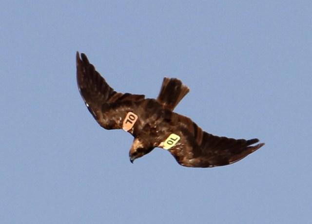 2012_09_12 LN - Western Marsh Harrier (Circus aeruginosus) 04