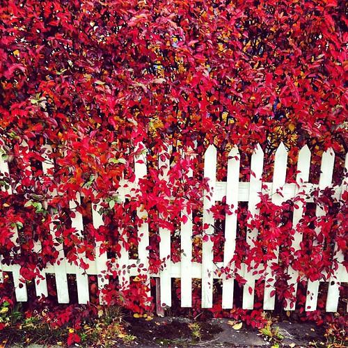 #red #reykjavik #autumn #white #fence #iceland #fall