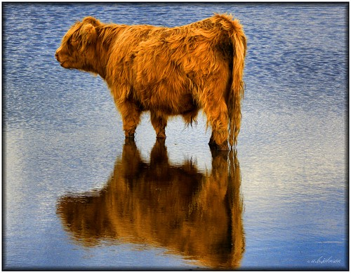 COW AND REFLECTION