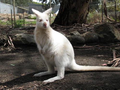 Freaky Wallaby at Halls Gap Zoo by holidaypointau