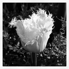 Wonders pop up everywhere #bw #blooming #spring #instagramhub #lifeinlofi