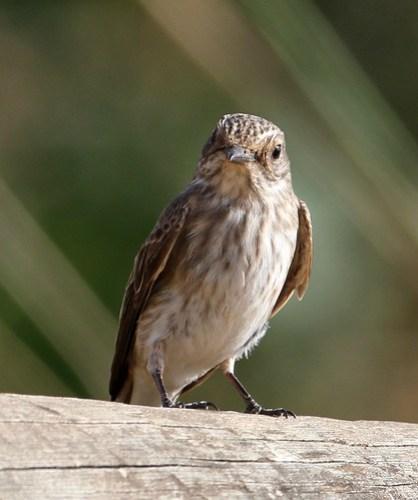 2012_09_18 VV - Spotted Flycatcher (Muscicapa striata) 05
