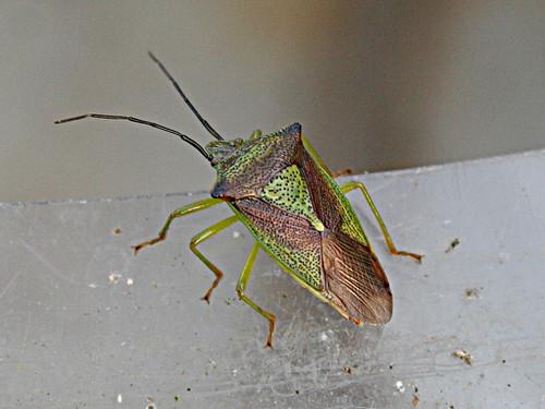 Hawthorn Shieldbug Acanthosoma haemorrhoidale Tophill Low NR, East Yorkshire Jan 2013
