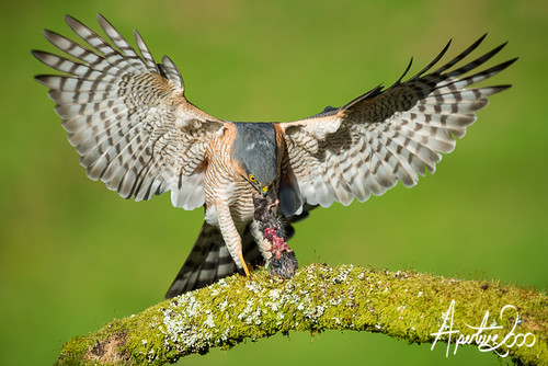 Sparrowhawk 7 by TheApertureMan