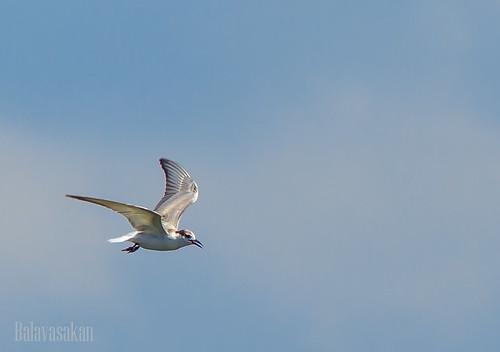 Lonely Bird by Balavasakan