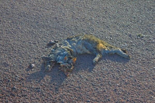 Les dangers de la route : chat domestique