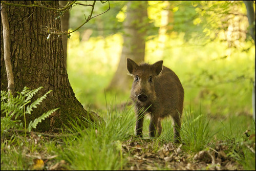 Wild Boar, Forest of Dean by Ben Locke (Ben909)