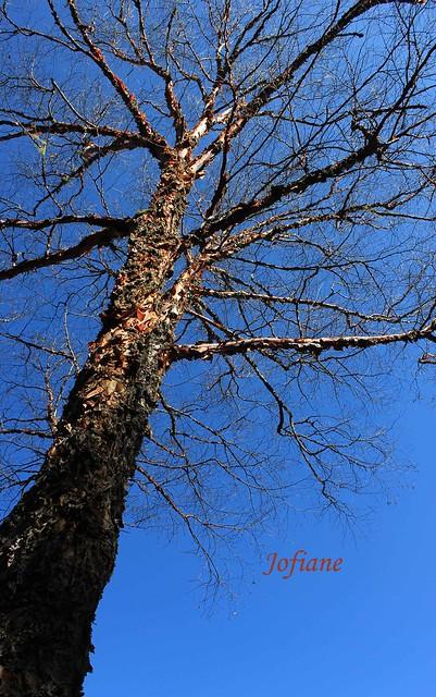 Jofiane - autumn tree 2