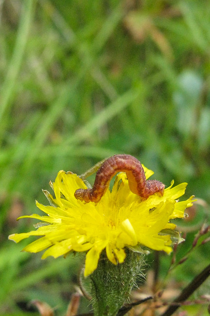 Eupithecia cf. E. satyrata
