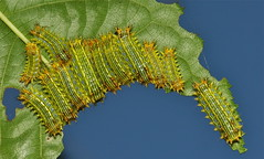 Stinging Nettle Cup Moth Caterpillars (Limacodidae)