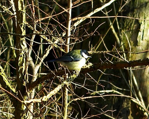 20120102-03b_Blue Tit at Coombe Abbey (Heavy Crop) by gary.hadden