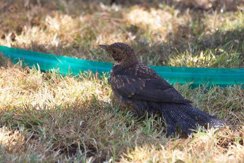 Hot Blackbird 2013-01-16 (_MG_9882)