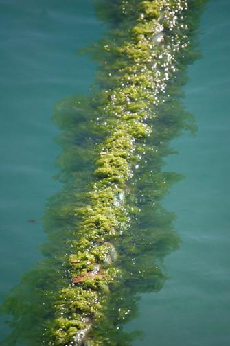 seaweed on Ali'i Kai line
