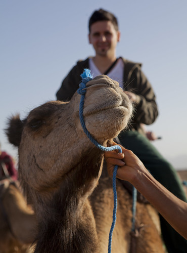 camel, desert, Morocco, Sahara